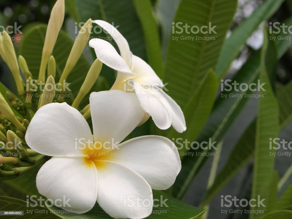 white and yellow plumeria frangipani flowers royalty-free stock photo