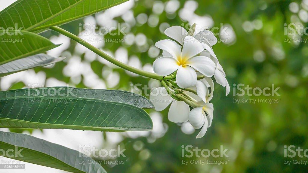 Blanc et de jaune, Plumeria photo libre de droits
