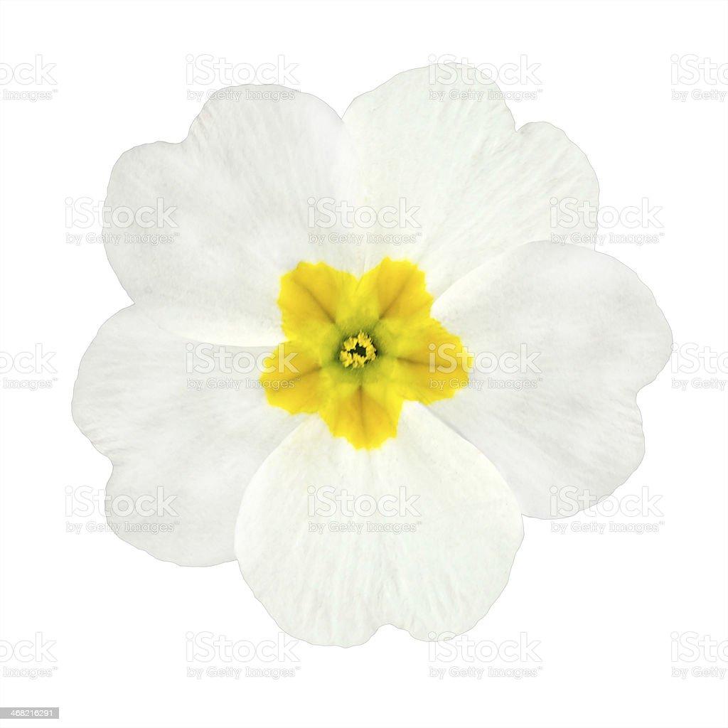 White and Yellow Primrose Flower Isolated stock photo