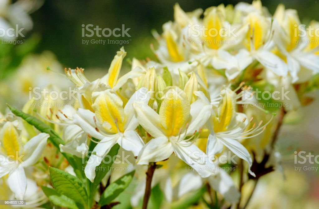 White and yellow rhododendron group of flowers, close-up image. Shot on film royalty-free stock photo