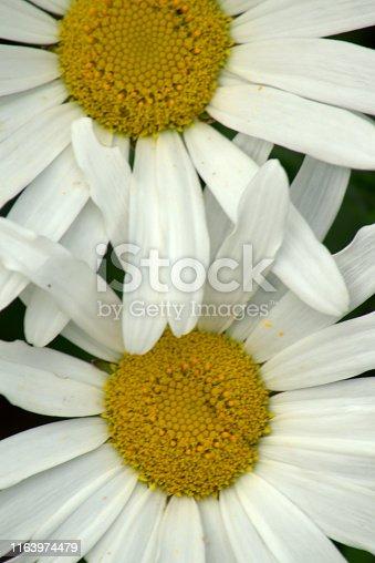 Full-frame image of yellow and white Shasta daisy flowers