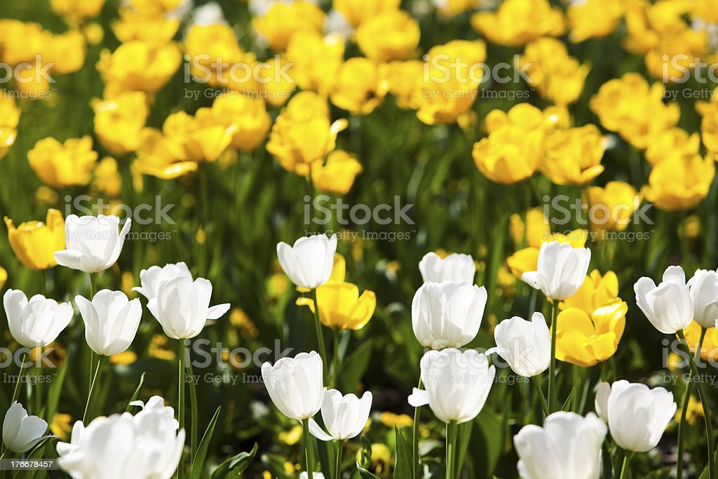 white and yellow tulips royalty-free stock photo