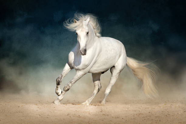White andalusian horse White horse run forward in dust on dark background stallion stock pictures, royalty-free photos & images
