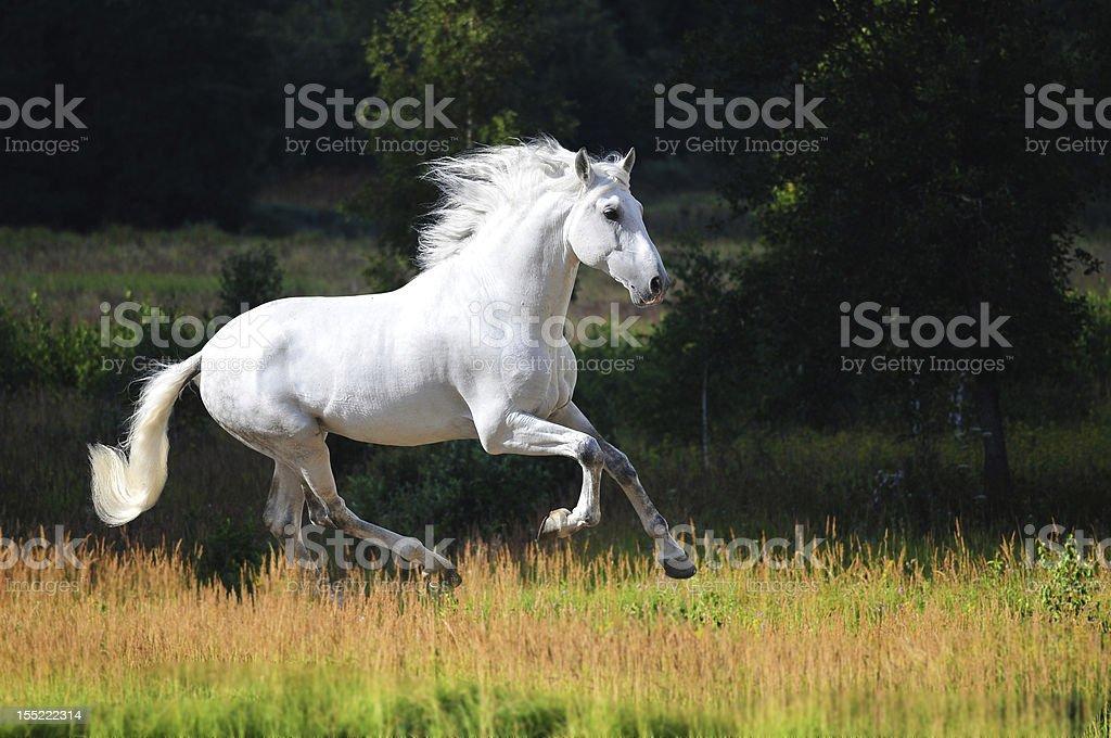 White Andalusian horse (Pura Raza Espanola) runs gallop in summer stock photo