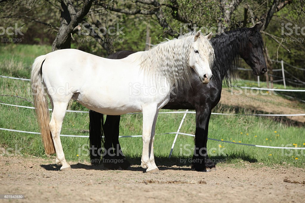 White Andalusian Horse With Black Friesian Horse Stock Photo Download Image Now Istock