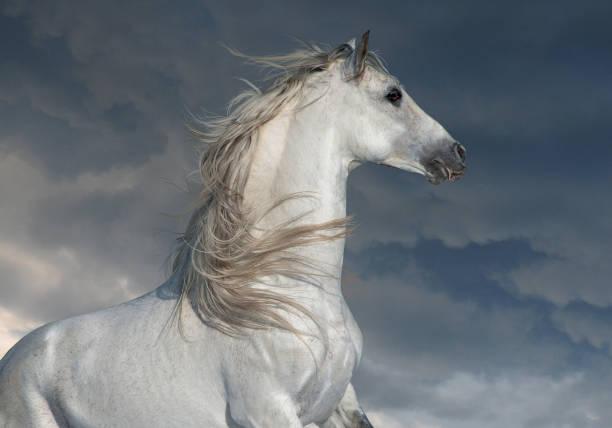 weißen andalusier mit langen porträt in bewegung mit dunklen himmel hinter - andalusier pferd stock-fotos und bilder