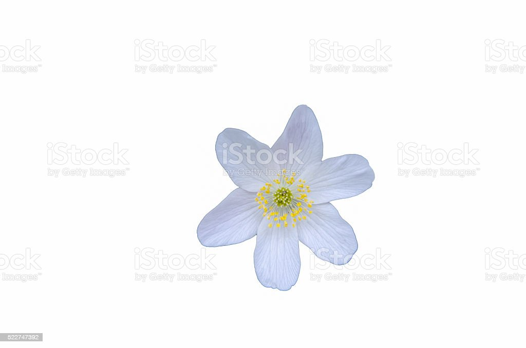 White anemone cut out stock photo