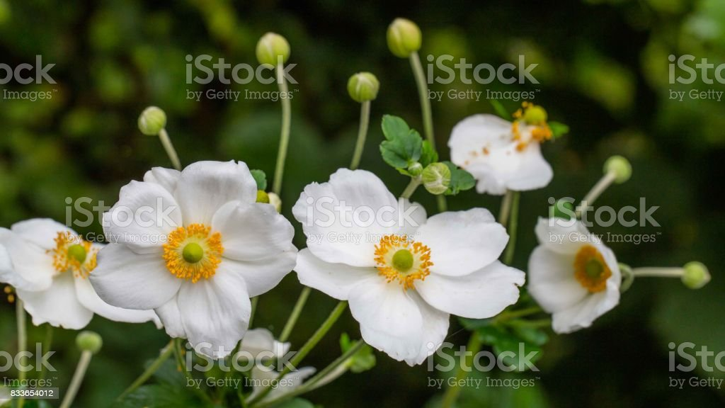 White anemone flowers close-up stock photo