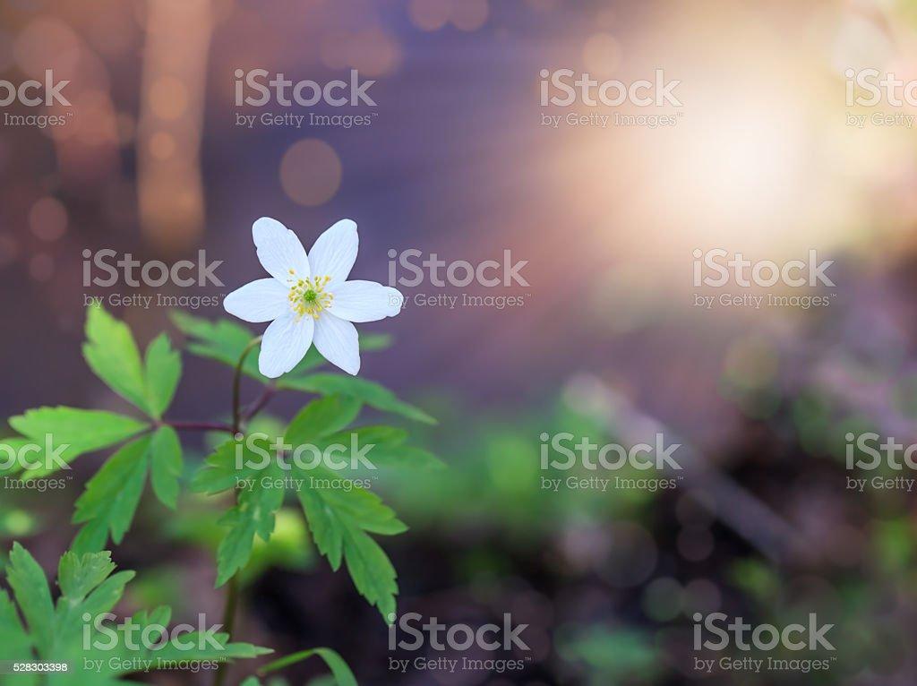 White anemone flowers growing spring flowering stock photo
