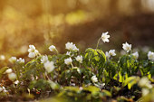 White anemone flowers in the awakening spring forest. First flowers in early spring with bright light nature forest background. close up first white spring forest anemone. selective focus. copy space.