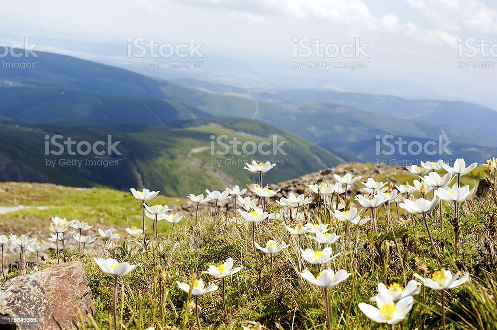white anemone flowers royalty-free stock photo