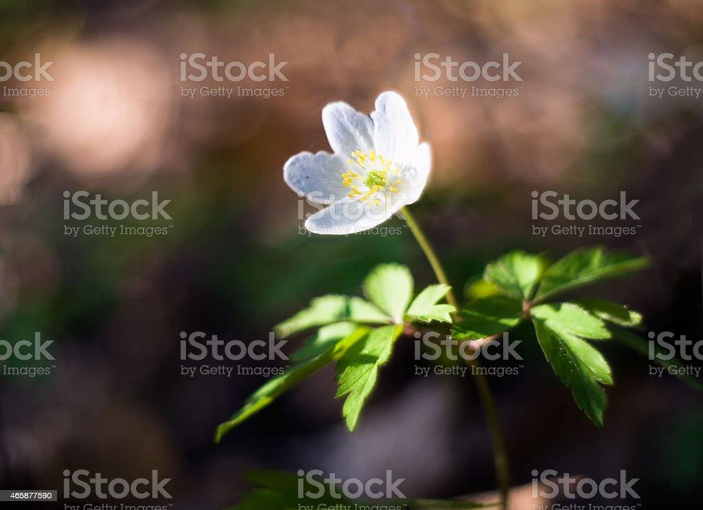 White anemones stock photo