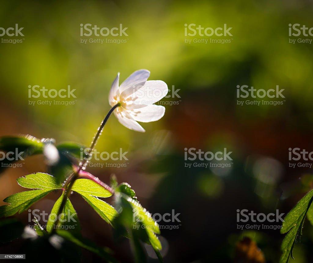 White anemones (Anemone nemorosa). stock photo