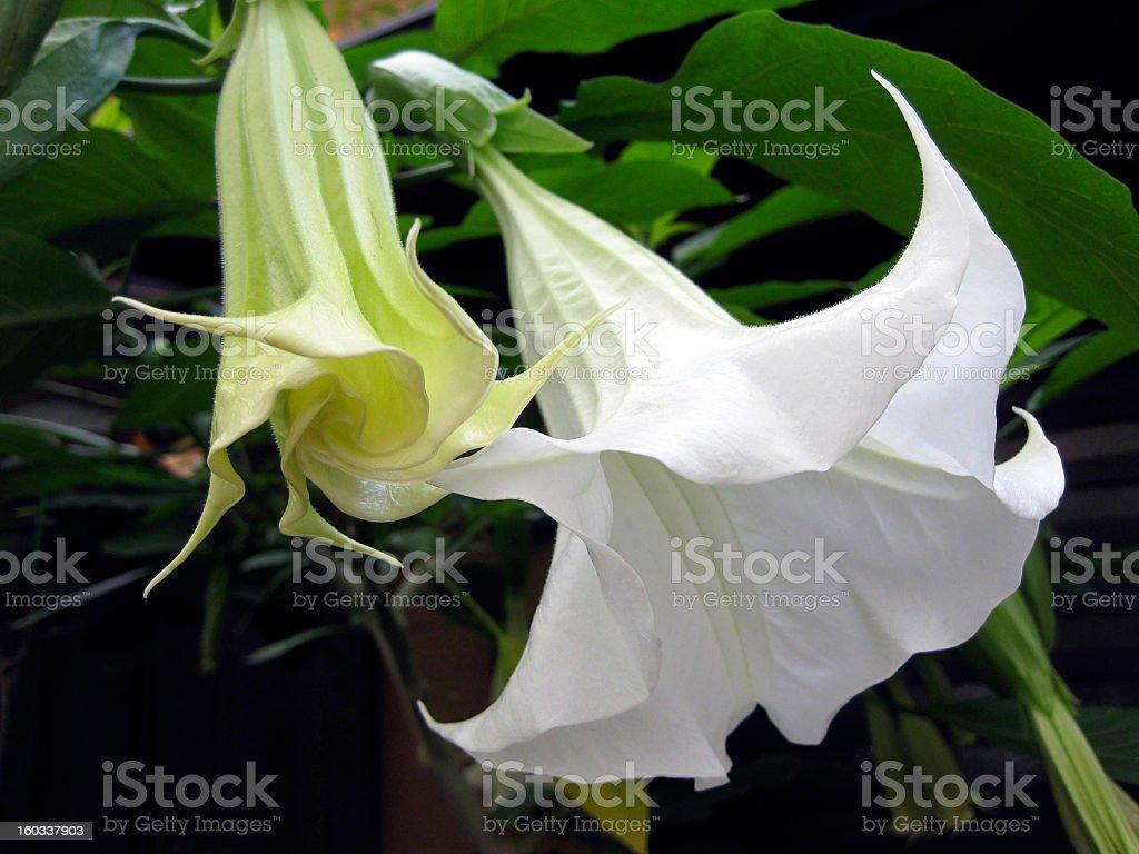 White angels trumpet flower closeup stock photo more pictures of white angels trumpet flower close up royalty free stock photo mightylinksfo