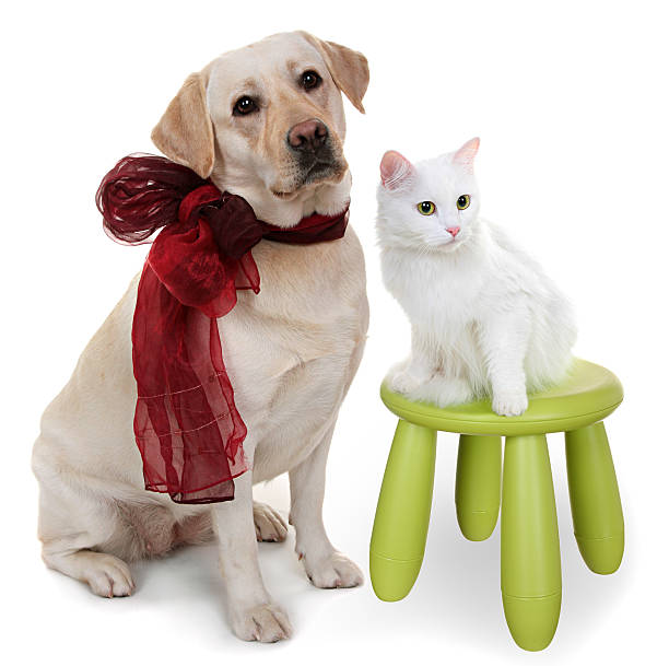 White angora cat and dog of breed labrador retriever picture id454069489?b=1&k=6&m=454069489&s=612x612&w=0&h=tp  1xwozipzrk6hdy8jubmqyy4gii8b9ovhnbxu5gy=