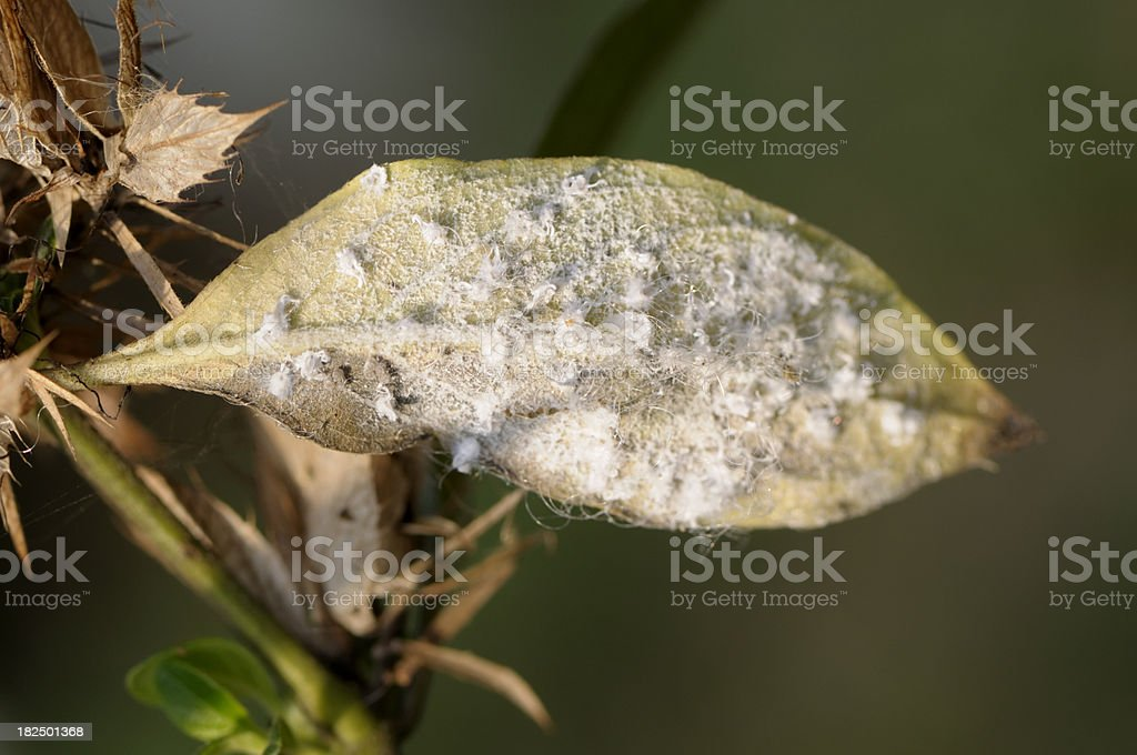 White Aphids stock photo