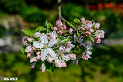 White Apple Blossoms on apple tree
