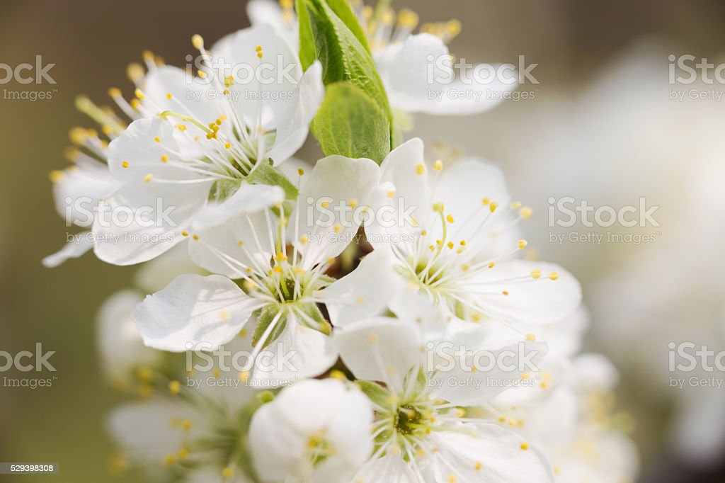 White Apple Blossoms stock photo