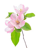 apple flowers branch isolated on white background