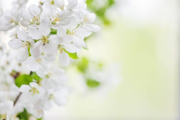 White apple tree flowers stock photo