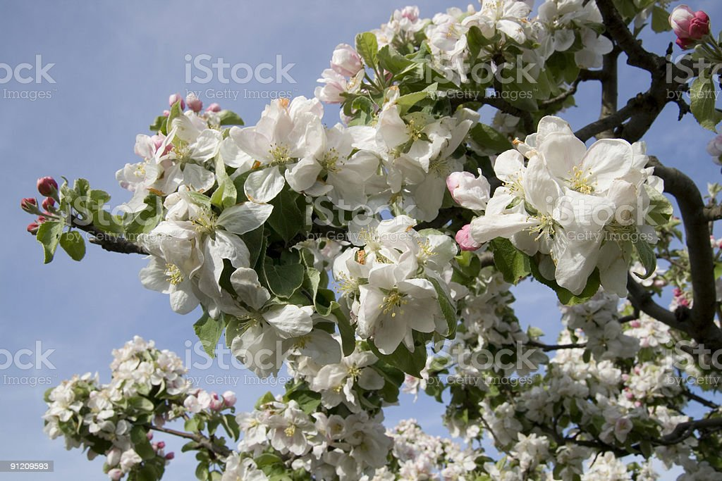 White apple-tree flowers royalty-free stock photo