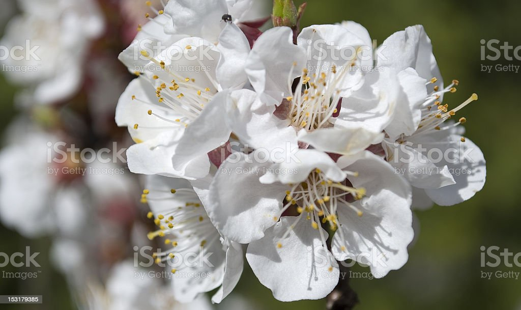 White apricot flowers royalty-free stock photo
