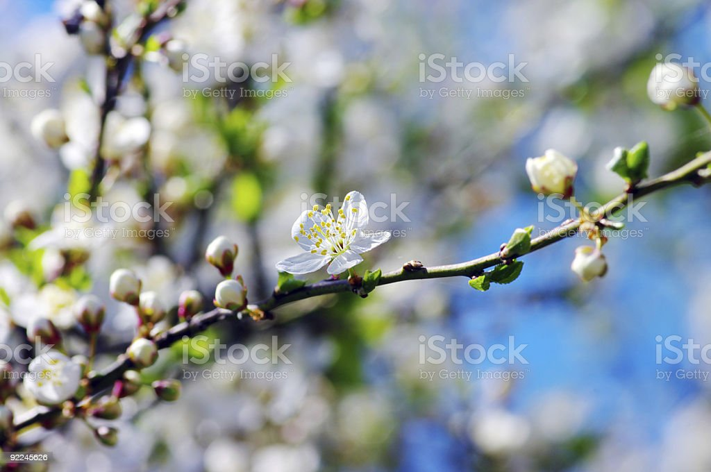 White apricot flowers with blue sky background royalty-free stock photo