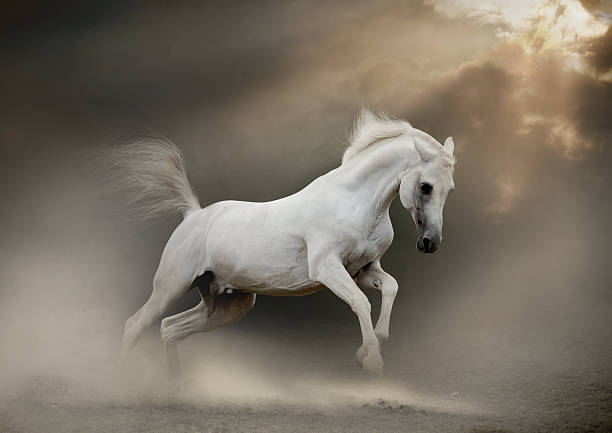 white arab horse white arabian stallion in dust arabian horse stock pictures, royalty-free photos & images
