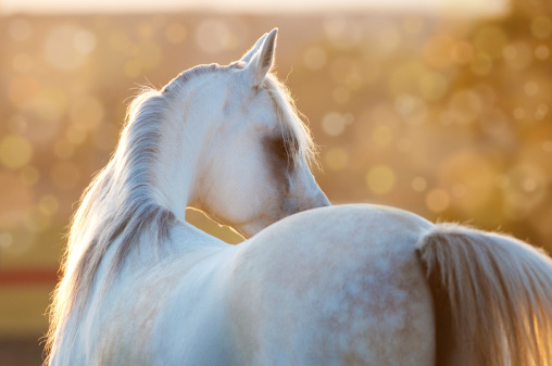 White Arabian Horse In The Sunrise Stock Photo - Download Image Now
