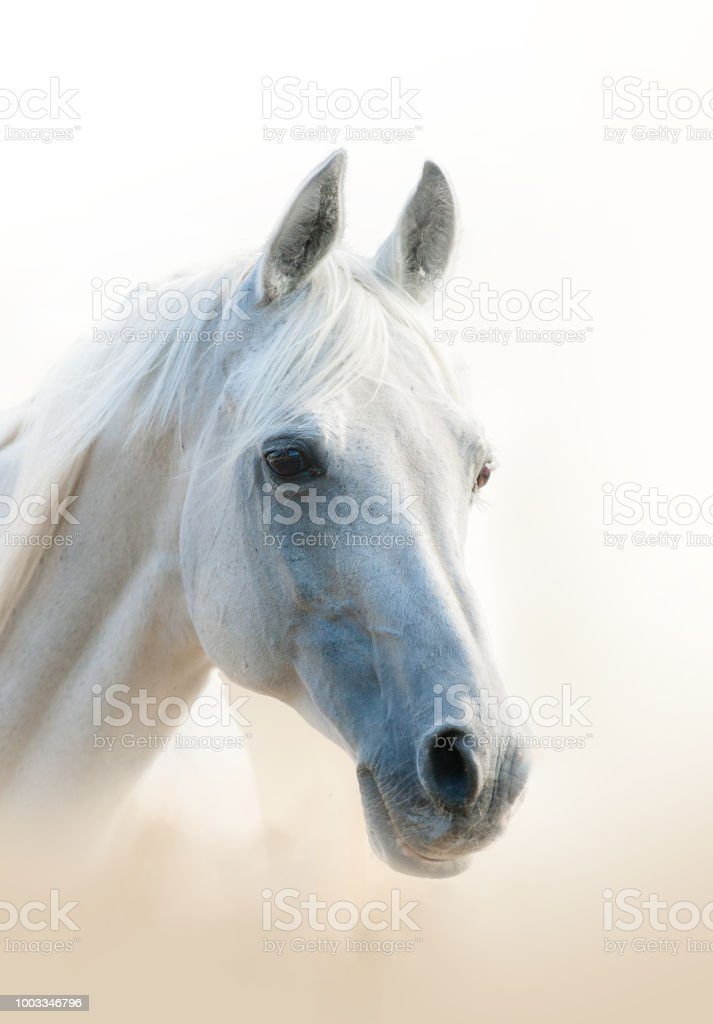 White arabian horse stock photo