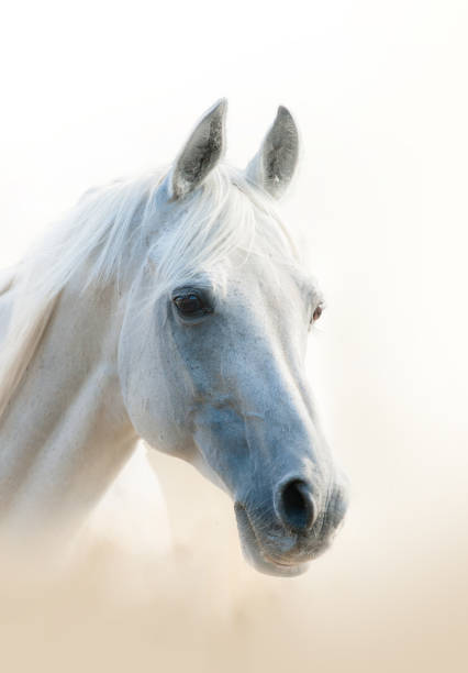 White arabian horse White arabian horse portrait, vertical arabian horse stock pictures, royalty-free photos & images