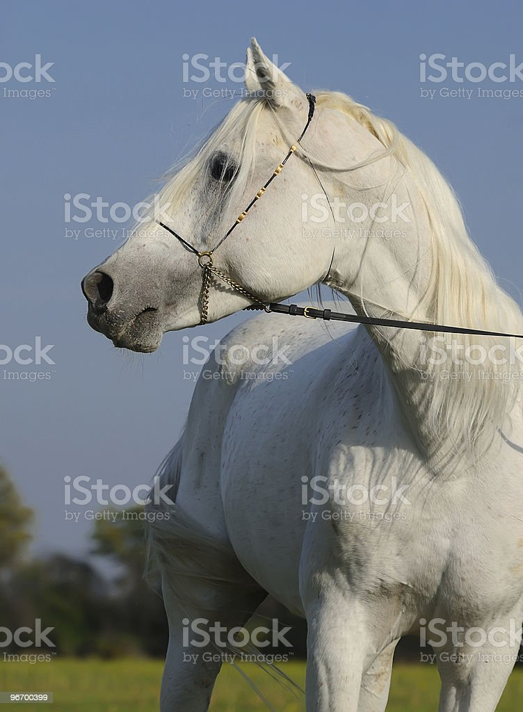 White Arabian Horse Stock Photo Download Image Now Istock