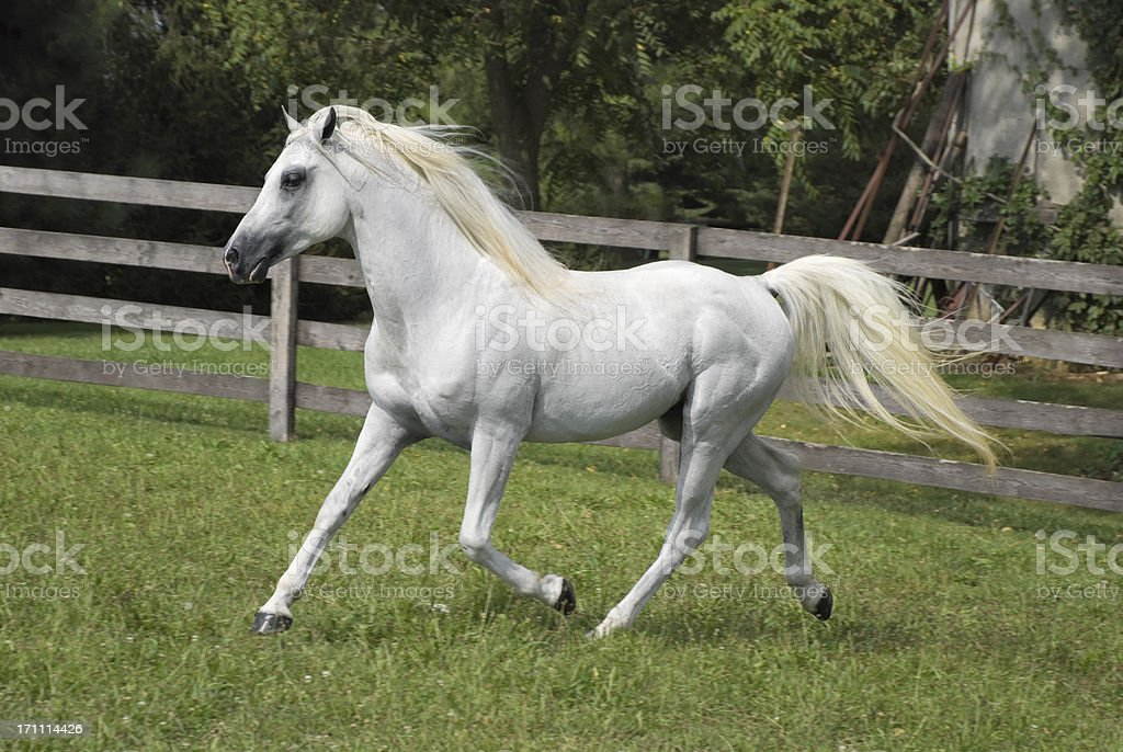 White Arabian Horse Running In Summer Pasture Stallion Side View ...