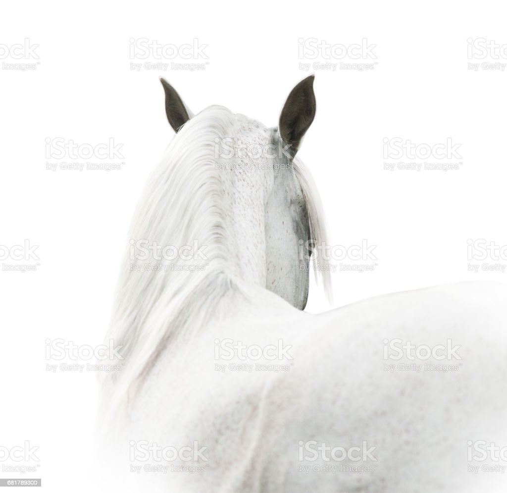 White arabian stock photo