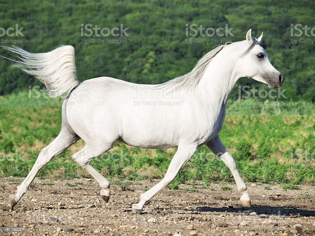 White Arabian Stallion In Motion At Freedom Stock Photo Download Image Now Istock