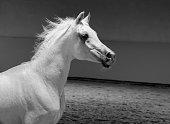 white arabian stallion portrait - arabian horse -  monochrome