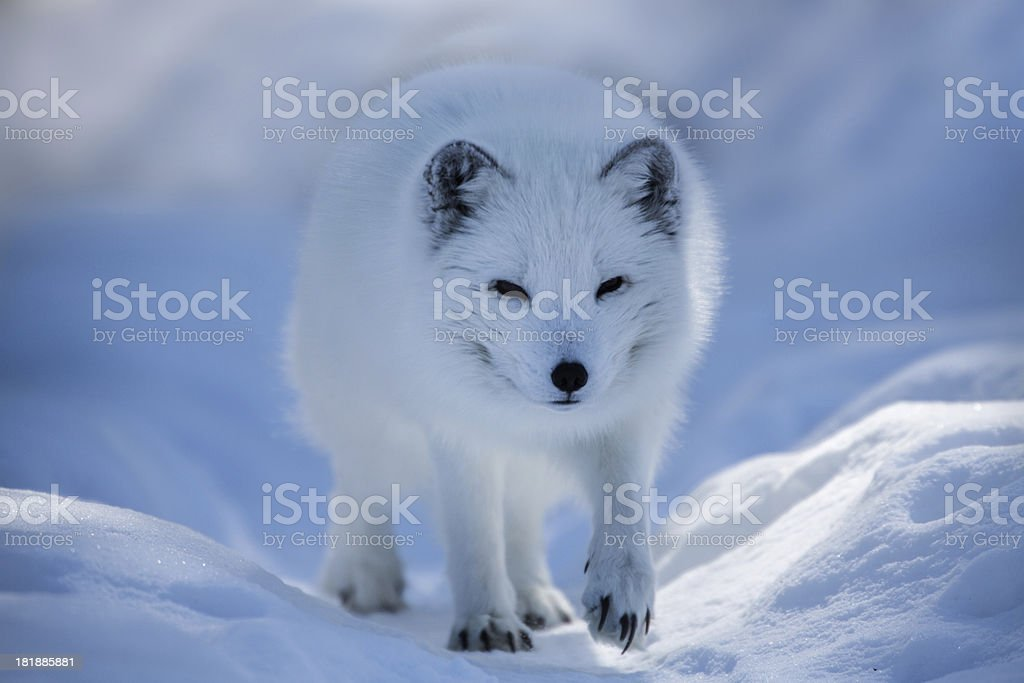 White arctic fox walking in the snow royalty-free stock photo