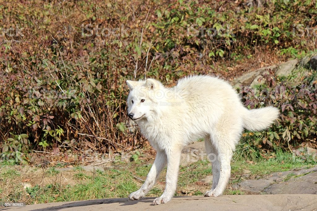 White Arctic Wolf Pup Poised To Strike Stock Photo & More Pictures ...