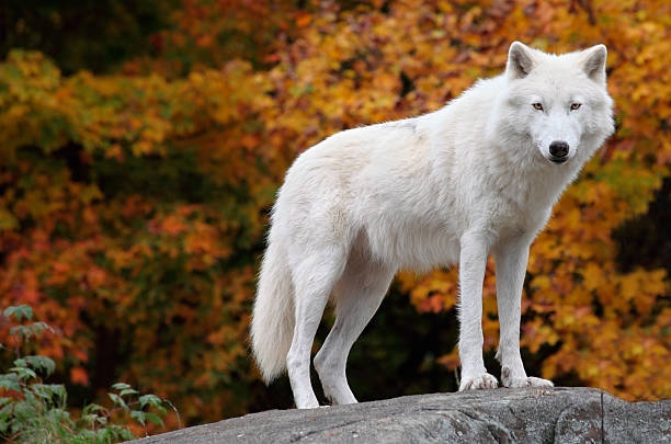 A white arctic wolf standing on a rock stock photo