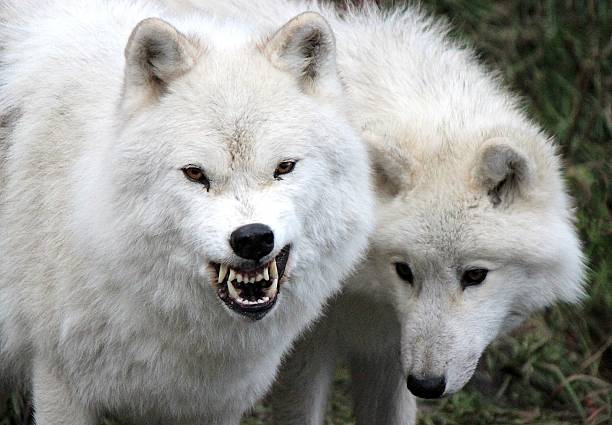 White Arctic Wolves with Teeth Barred stock photo