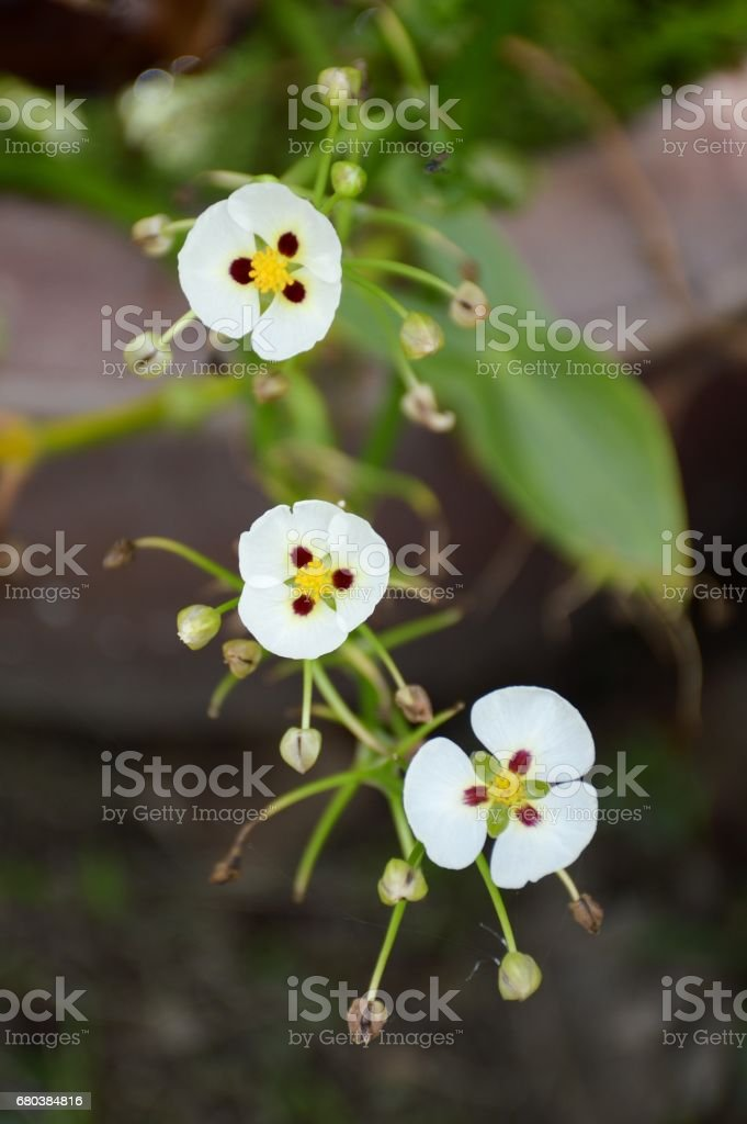 white arrow head flower royalty-free stock photo