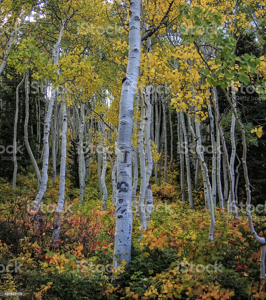 White Aspens and Colors stock photo