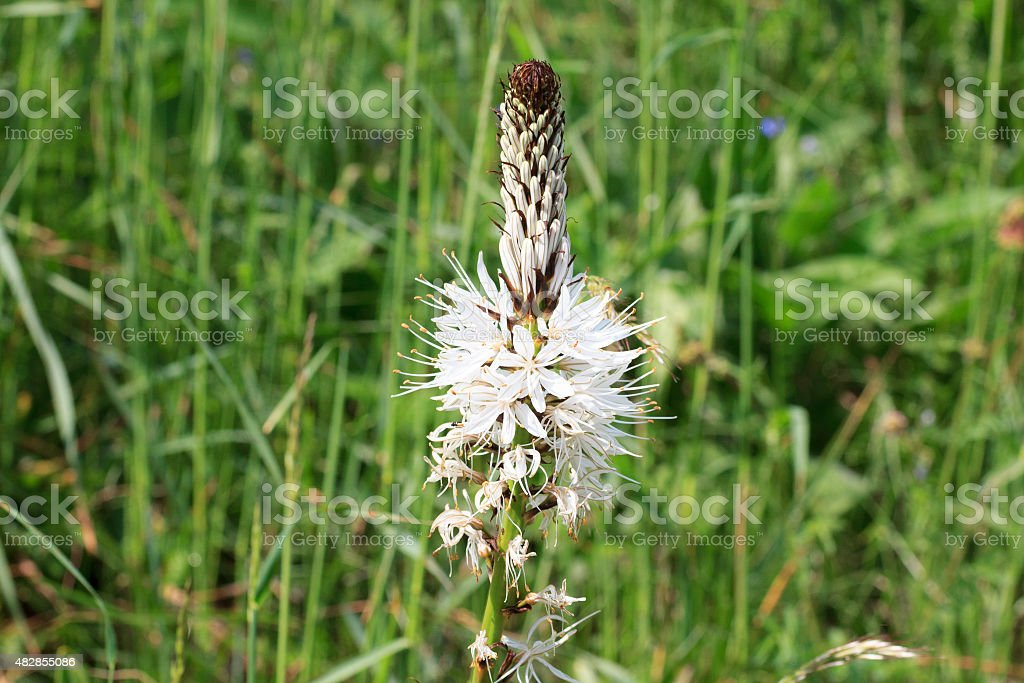 White asphodel stock photo