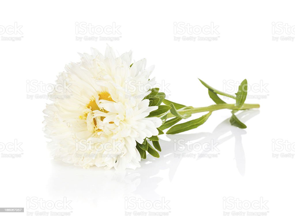 White aster flower stock photo