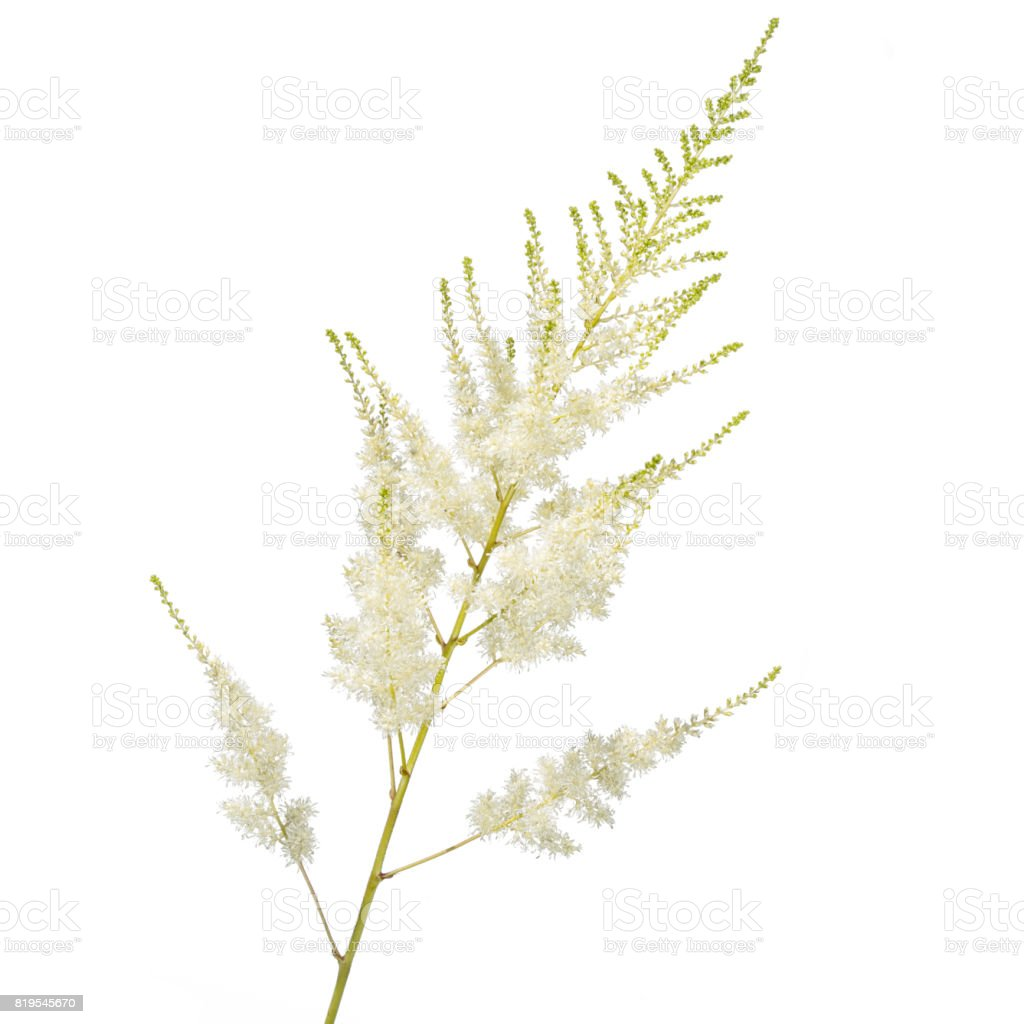 white astilba flower isolated on white background stock photo