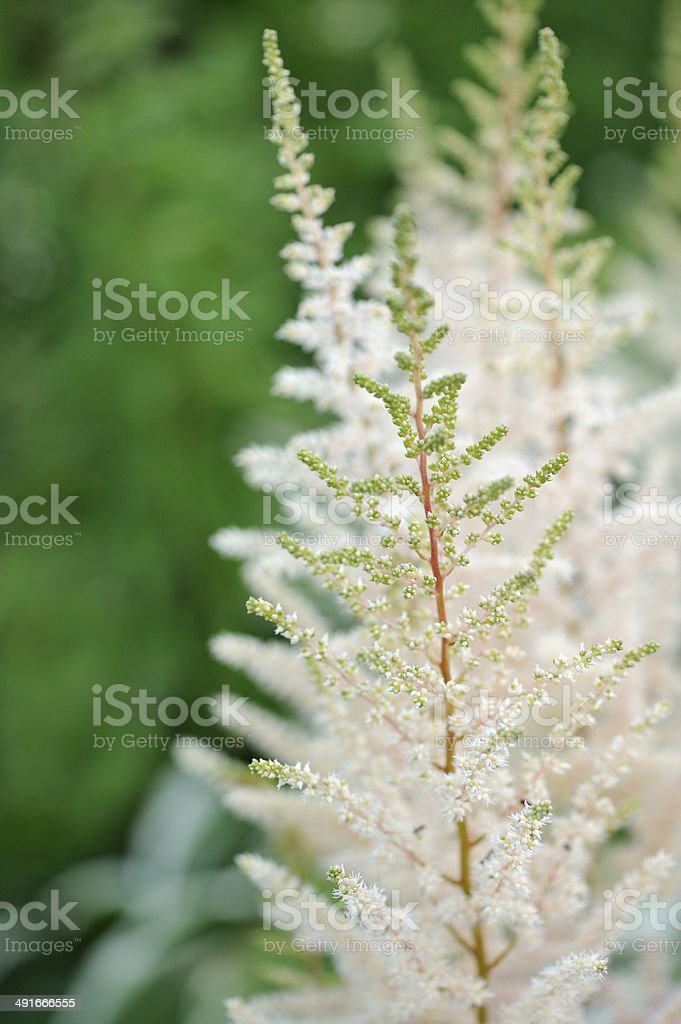 White Astilbe Flowers on Flower Bed stock photo