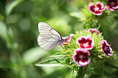 White attractive butterfly in a flower garden- Aporia crataegi