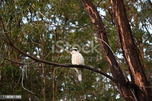 Australian white Kookaburra perched on a Wattle tree branch