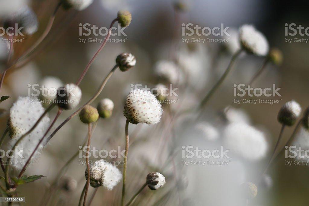 White autom flowers stock photo
