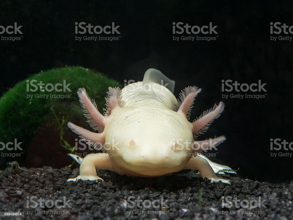 Axolote Vista de frente blanco - foto de stock